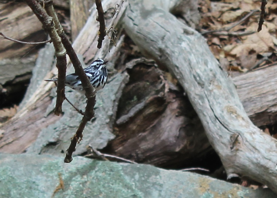 This black-and-white warbler was really close to us.  This picture is cropped but was taken with an adjustable 18-55mm lens.  The bird was within six or seven feet.