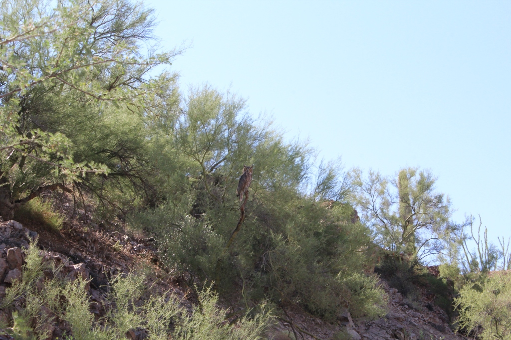 Great_Horned_Owl_a